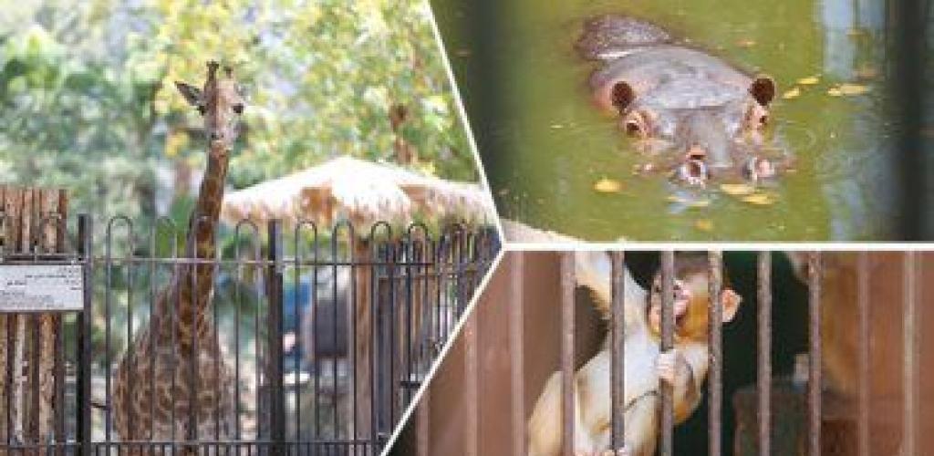حال الحيوانات بحديقة الجيزة يصعب على كورونا.. البهجة غابت فى العيد بسبب الفيروس.. والعمال يحاولون إبعاد الملل والاكتئاب عن الحيوانات.. وزيادة اللعب هو الحل.. والشامبنزى والقرد والنسناس أكثر المتأثرين