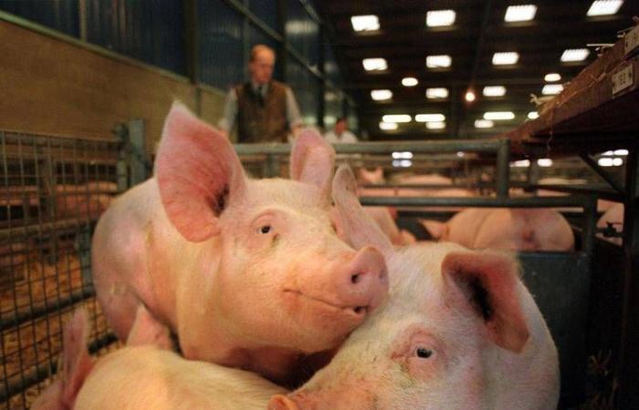 """""""الخنازير"""" أزمة جديدة تواجه بريطانيا بسبب """"بريكست"""".. جارديان: نقص العمال بعد """"الخروج"""" ووباء كورونا يدفعان المزارعين لإعدام الخنازير بعيدا عن المسالخ .. وتراكم 120 خنزير فى المملكة المتحدة يضغط على قطاع الزراعة"""